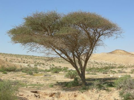 The Acacia Tree is synonymous with African landscapes
