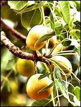 Marula Oil is extracted from the kernels of the Marula tree and is rich in essential fatty acids.