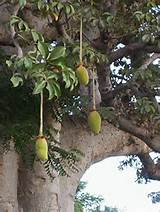 Baobab Oil is extracted from the seeds of the tree's fruit.