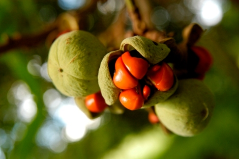 The Mafura tree produces fruit with distinctive red seeds